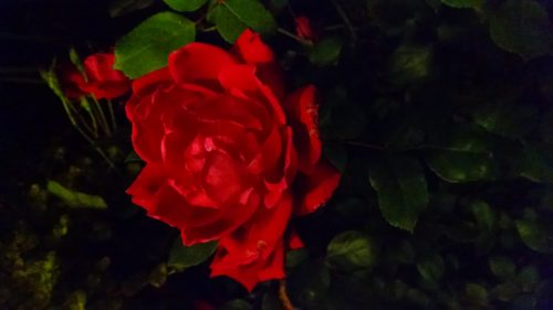 roses-rickyhanson-ricky-hanson